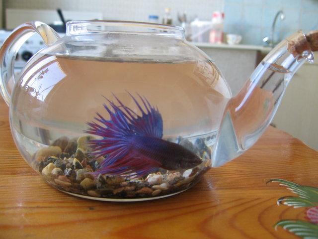 Как ухаживать за рыбкой петушок в домашних  487